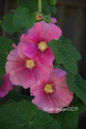 hollyhocks2